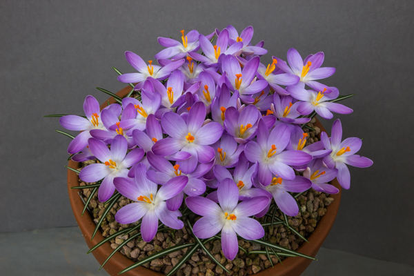 Crocus dalmaticus photographed at standard angle