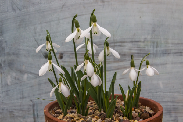 Snowdrops photographed against a backdrop of whitewashed greenhouse glass