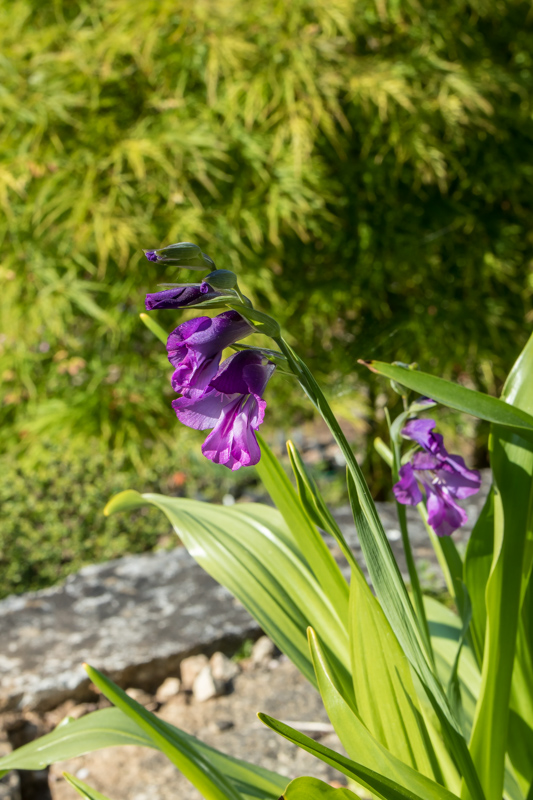 Gladiolus atroviolaceus - in a pot or not? It is growing in the rock garden