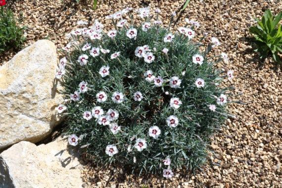 Dianthus species