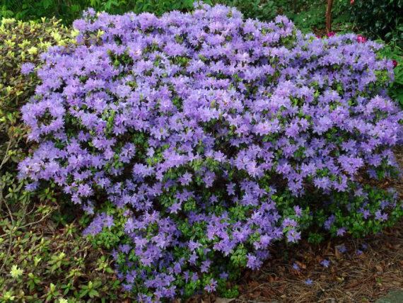 Rhododendron 'Augfast'