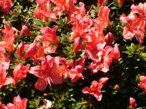 Rhododendron 'Nakaharae'