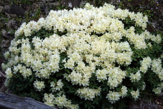 Rhododendron 'Sleeping Beauty'