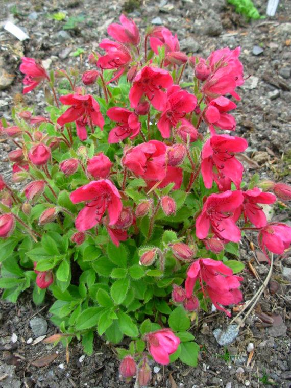 Rhododendron camtschaticum 'Red form'