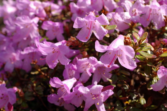 Rhododendron uniflorum var. imperator