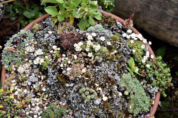 Saxifraga cebennensis in minature garden