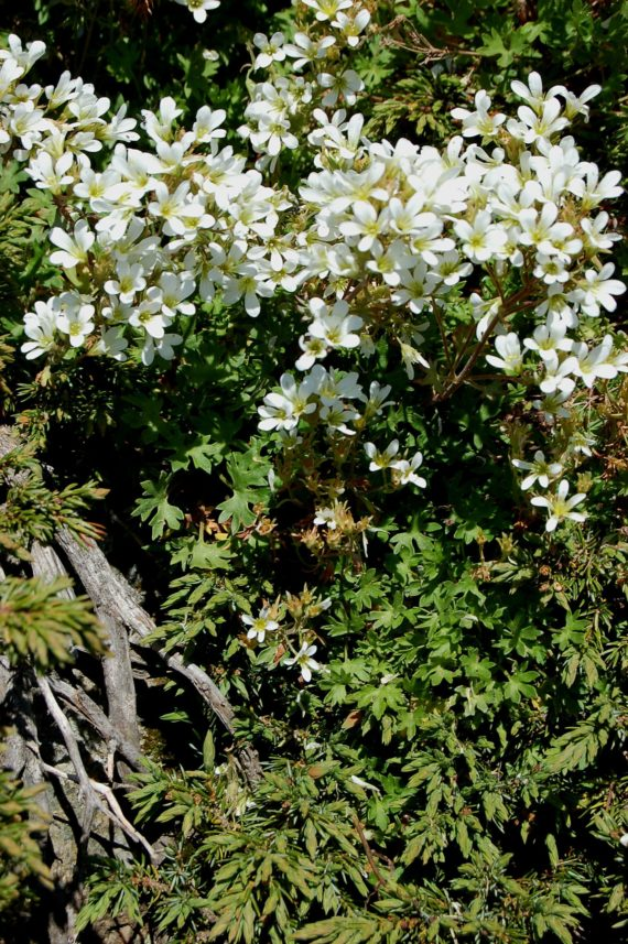 Saxifraga geranioides Vallter