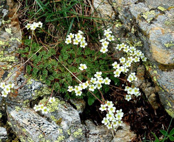 Saxifraga pubescens Nuria