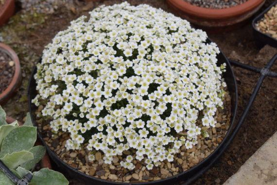 Saxifraga pubescens Snowflake
