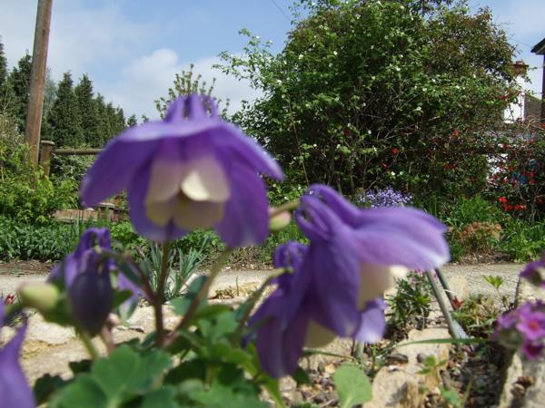 Aquilegia flabellata v pumila out of focus