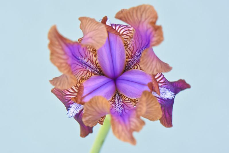 Iris stolonifera by David Morris