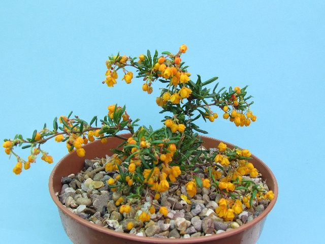 Berberis xstenophylla 'Corallina Compacta,' Christopher Lilley - 3rd in Class 18 - Open - Berberidaceae