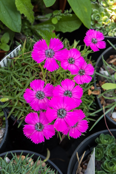 Dianthus Inshriach Dazzler