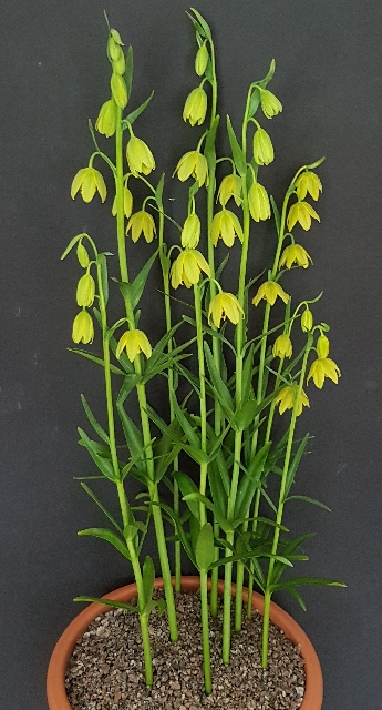 Fritillaria affinis Sunray, Tony Hollingworth - 1st in class 179 (intermediate, rock plant native to North America)