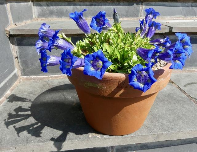 Gentiana occidentalis, David Charlton - 1st in class 26 - Open - Gentianaceae