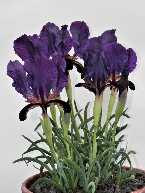 Iris paradoxa ssp paradoxa, Peter Hood - Best Entry, Open & Best in Show, Bulbous