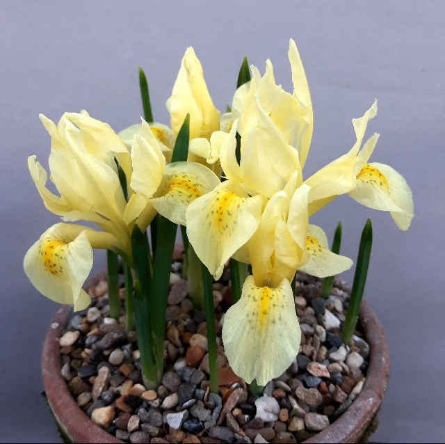 Iris winogradowii, Neil Hubbard - 2nd & members' choice in class 64 (open - Iris 'bulbous')
