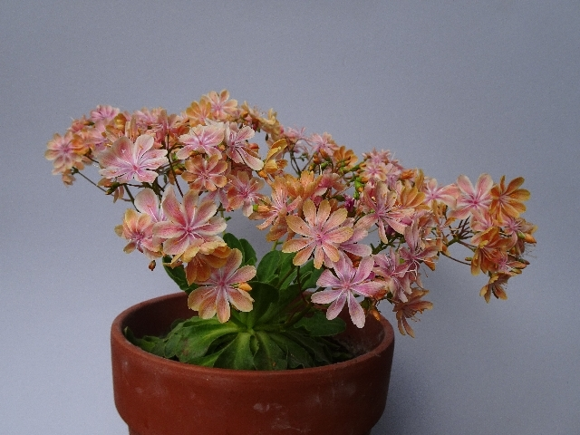 Lewisia cotyledon - Stephen Spells - 2nd place in class 192 (rock plant grown from seed by exhibitor)