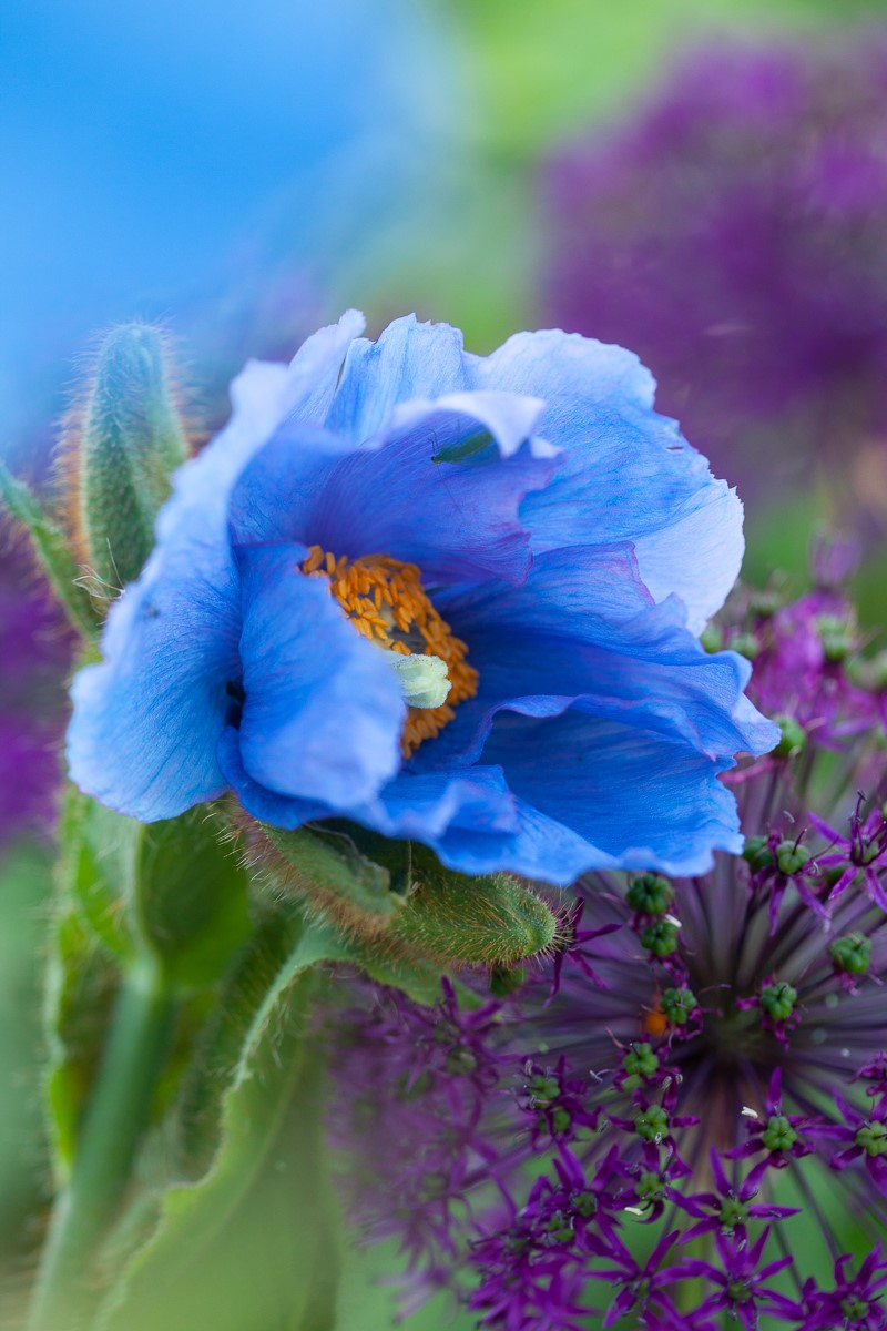 Meconopsis in Tommy Tonsberg's garden