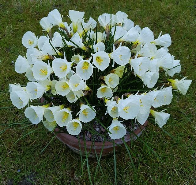 Narcissus bulbocodium 'White Petticoat', Ian Instone - 1st & members' choice in class 60 (open - miniature Narcissus)