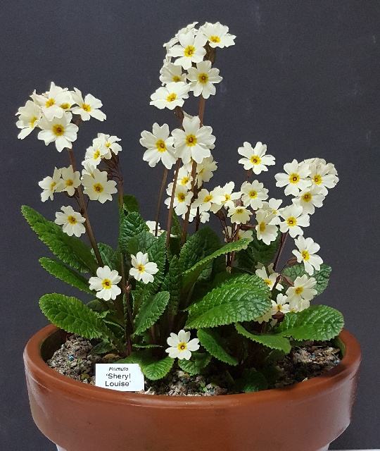 Primula 'Sheryl Louise,' Tony Hollingworth - 2nd & members' choice in class 105