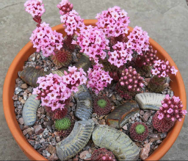 Sedum pilosum, Kathy Marshall - first place & members' choice in class 292 (rock plant grown from seed by exhibitor)