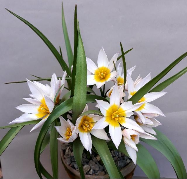 Tulipa cretica, Neil Hubbard - 1st in class 71 (open - Tulipa)