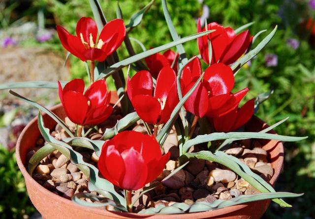 Tulipa wilsoniana, Cliff Booker - 2nd & members' choice in class 71 (open - Tulipa)