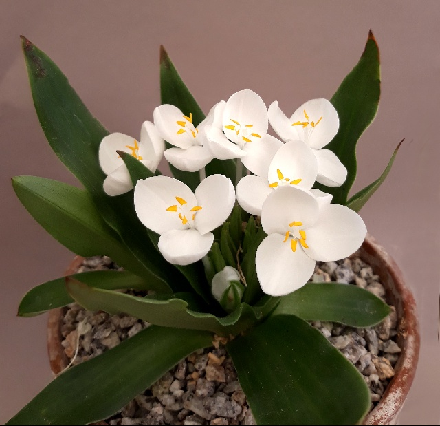 Weldenia candida, Neil Hubbard - 3rd & members' choice in class 79 (open - rock plant native to North America)
