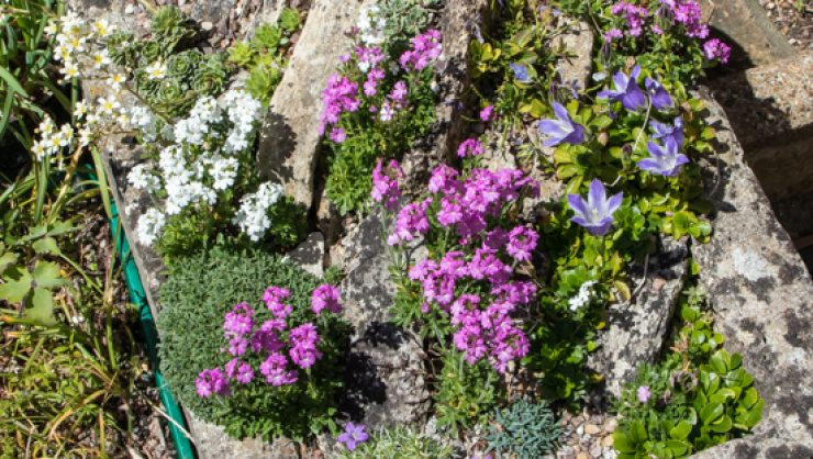 crevice garden alpine plant trough