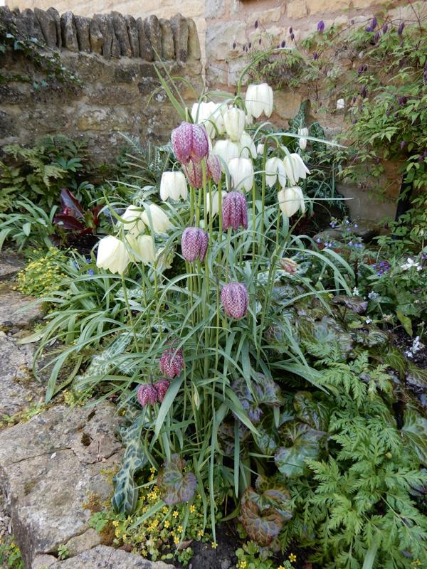 Fritillaria meleagris by Celia Sawyer