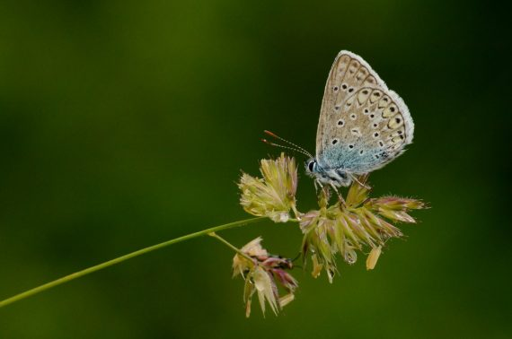 Class 6 (First Place) 2019: Tony Goode - Blue butterfly (Plebejus sp.). Meadows at Antagnes, Alpes Vaudoises, Switzerland: June 2019.