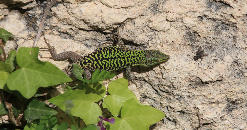 Italian Wall Lizard by Roy Bowden