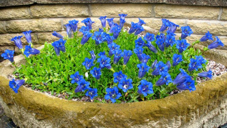 Gentian occidentalis