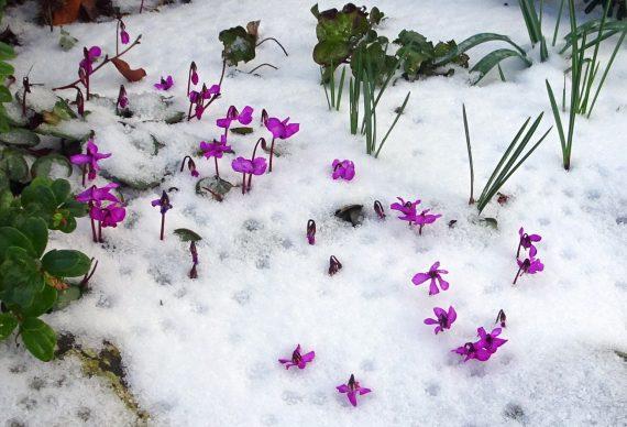 Cyclamen coum 'Pewter Strain' flowering through snow