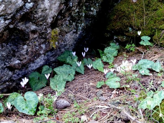 Cyclamen rhodium growing in the shade of a large rock, Rhodes