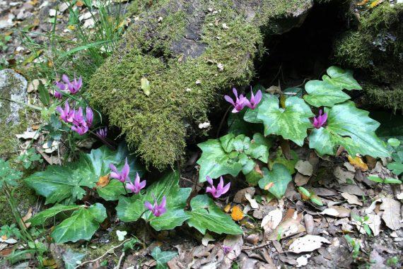 Cyclamen repandum subsp. repandum in an English woodland garden