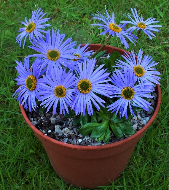 Aster soulii