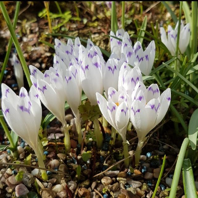 Crocus huffelianus 'Carpathian Wonder'