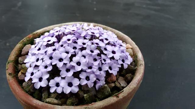 Dionysia Afghanica