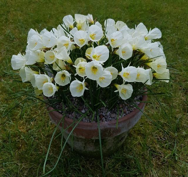 Narcissus bulbocodium 'White Petticoat'