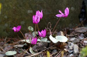Cyclamen purpurascens 'Silver Leaf'