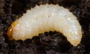 Vine weevil larva (x 8)