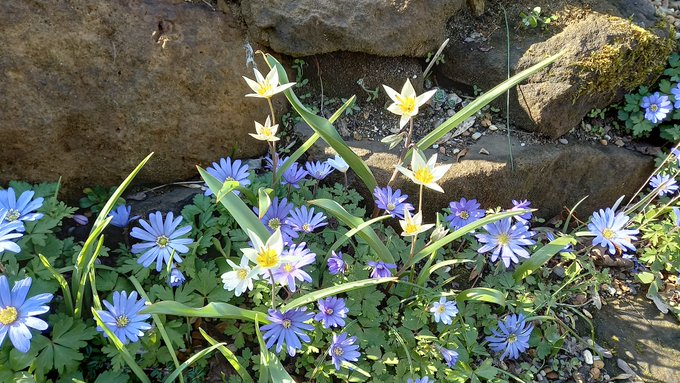 Anemone blanda and Tulipa turkestanica