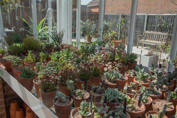 Crassulas in the Crassula House of National Collection Holder, Amanda Whittaker, designed and built by Griffin Glasshouses