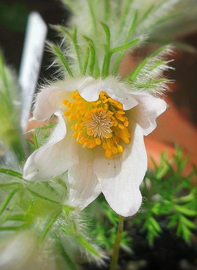 Pulsatilla vulgaris alba