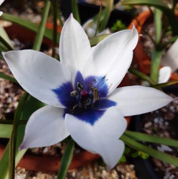 Tulipa humilis 'Alba coerulea oculata'