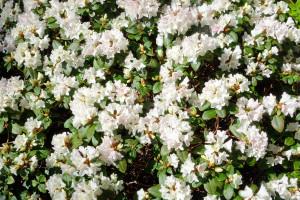 Rhododendron 'Bryn Mair'