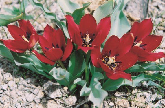 Tulipa sintenisii in Bulbous plants of Turkey and Iran
