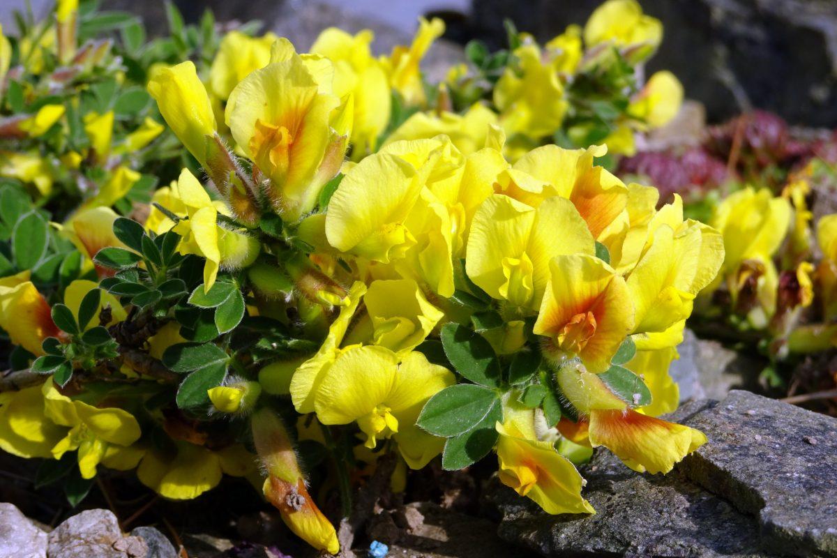Cytisus hirsutus var. demissus - 14 dwarf shrubs for the alpine garden
